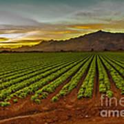 Lettuce Sunrise Poster