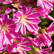 Lewisia Cotyledon Flowers Poster