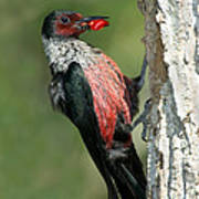 Lewiss Woodpecker With Fruit In Beak Poster