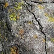 Lichen In Tricolour Poster