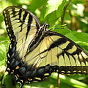 Light Form Female Tiger Swallowtail Poster
