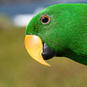 Light Of Love - Eclectus Parrot Poster