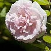 Light Pink Rose Poster