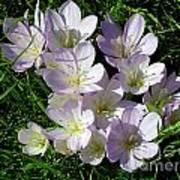 Light Purple Crocus Flowers In Spring Poster