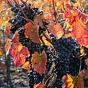 Light Through Fall Vineyard Poster