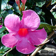 Light Within A Mandevilla Poster