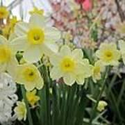 Light Yellow Daffodils Poster