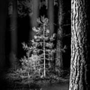 Lightpainting The Pine Forest New Growth Poster by Dirk Ercken