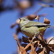 Lil' Bit - Orange-crowned Warbler Poster