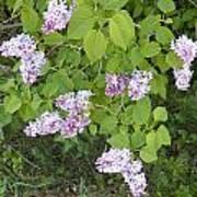 Lilac Bush Poster