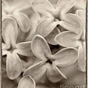 Lilac Macro Sepia Tone Poster
