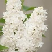 Lilac (syringa Vulgaris 'angel White') In Flower Poster