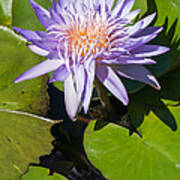 Lilac Water Lily Poster