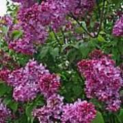 Lilacs At Hulda Klager Lilac Garden Poster