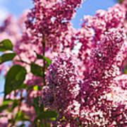 Lilacs Poster by Elena Elisseeva