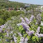 Lilacs On The Hill Poster