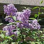 Lilacs Up Against The Wall Poster