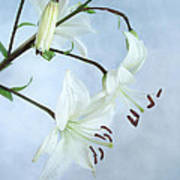 Lilies On Blue Poster