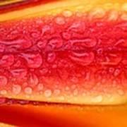 Lilium Anaconda Rain Poster