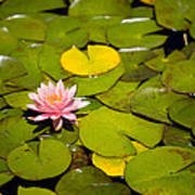 Lilly Pond Pink Poster by Peter Tellone