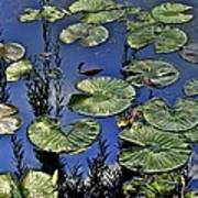 Lilly Pond Poster