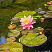 Lily In Pond Poster