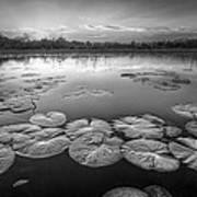 Lily Pads In The Glades Black And White Poster