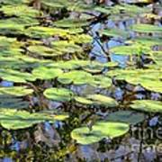 Lily Pads In The Swamp Poster