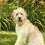 Lily The Goldendoodle With Daylilies Poster