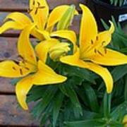 Lily Yellow Flower Poster