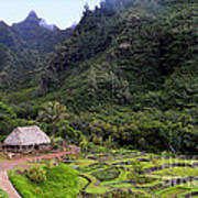 Limahuli Taro Fields In Kauai Poster