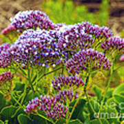 Limonium - Statice Poster by Artist and Photographer Laura Wrede