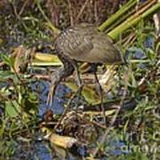 Limpkin With Lunch Poster