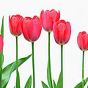 Line Of Tulips Poster