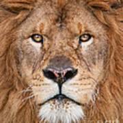 Lion Close Up Poster
