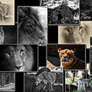 Lion Collage Poster