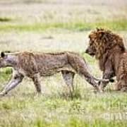 Lion Couple Poster