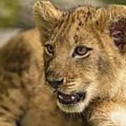 Lion Cub Close Up Poster