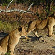 Lion Cubs Of Zimbabwe  Poster