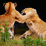 Lion Cubs Playing In The Grass Poster