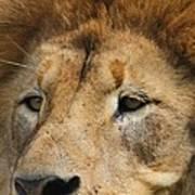 Lion Eyes Poster