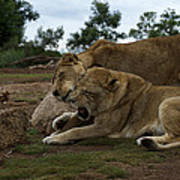 Lion - Get Off Me Poster by Graham Palmer