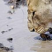 Lion Lick Poster