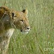 lion Masai Mara Kenya Poster