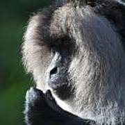 Lion Tailed Macaque Poster