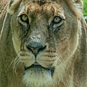 Lioness Female Lion 2 Poster