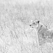 Lioness In Black And White Poster