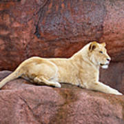 Lioness On A Red Rock Poster