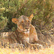 Lioness  Panthera Leo Resting Poster