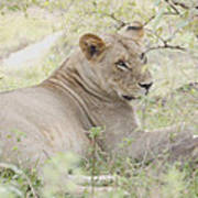 Lioness Relaxing Poster